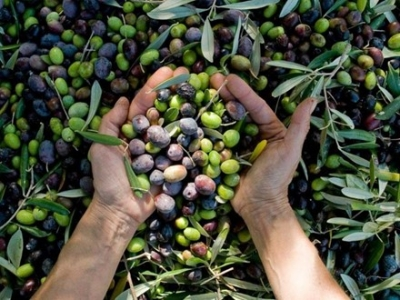 MY PRIVATE ITALY: HARVESTING MY OLIVES ON LAKE GARDA